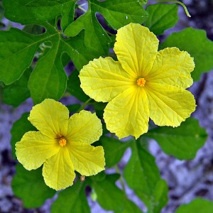 Zwei gelbe Blumen - Bittermelone