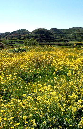 Ein Feld mit gelben Blumen